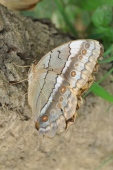 Huge moth