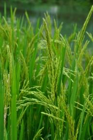 Rice in Mingshi Village