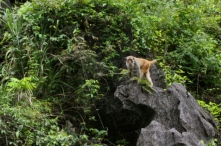 Wild Rhesus Macaque spotted climbing the karsts in Mingshi