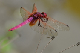 Hot pink dragonfly in Mingshi