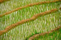 Rice growing in terraces