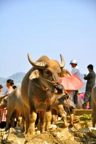 Buffalo for sale at Bac Ha Sunday market