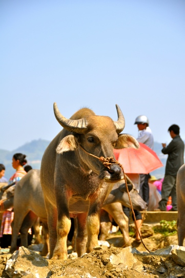 Buffalo for sale at Bac Ha Sunday market