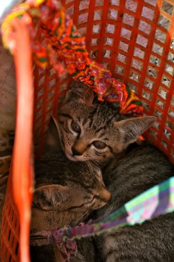 Kitten for sale at Bac Ha Sunday market