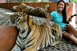 "Ting petting a ""medium"" tiger"