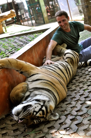 "Eric rubbing the belly of a ""medium"" tiger"