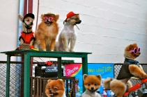 Pomeranians on the walking street