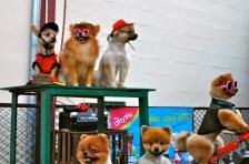 Pomeranians on the walking street