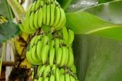 Banana trees all over LPB