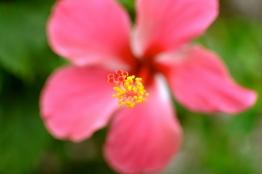 Hibiscus flowers everywhere