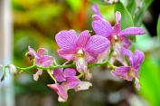 Orchids at Thongbay