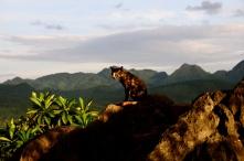 Cat atop Mt. Phousi