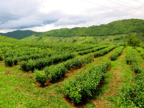 Former poppy fields converted to tea fields