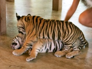Two baby tigers wrestling