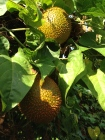 Gac fruits